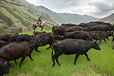 USA, Oregon, Joseph, Cowboy Todd Nash drives cattle up the canyon wall towards Steer Creek drainage in Northeast Oregon