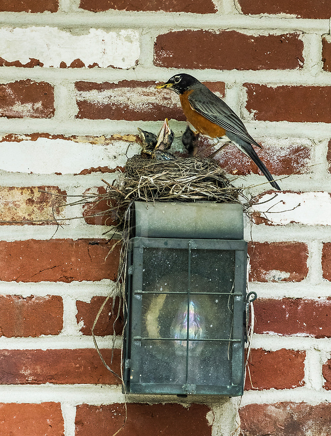 Mother robin feeding her chicks in a nest.
