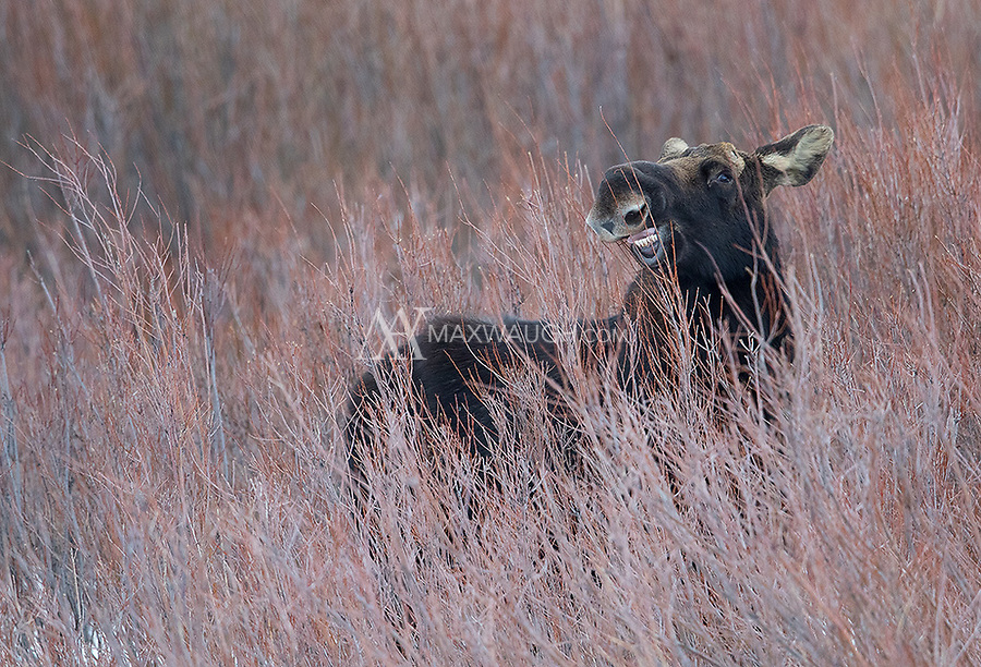 A bull moose (you can see where he's lost his antlers) grazes in the willows near Soda Butte Creek.