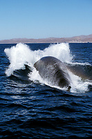 Adult Fin Whale, Balaenoptera physalus, power-lunging in the midriff region of the Gulf of California, Sea of Cortez, Sonora, Mexico, Pacific Ocean