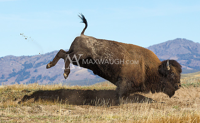 A bull bison rolls, jumps and kicks up dirt in some late rutting action.