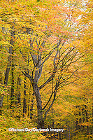 64776-01320 Trees in fall color Schoolcraft County Upper Peninsula Michigan