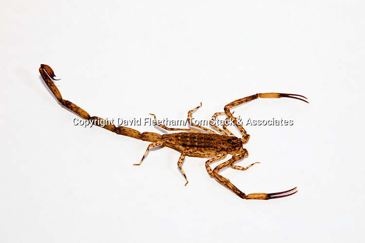 Lesser Brown Scorpion, Isometrus maculates, Maui, Hawaii. Although the non-neurotoxic sting of the sole Hawaiian scorpion species produces severe pain and swelling at the point of puncture, there have been no reported fatalities in the state due to scorpion stings.