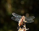 Dragonfly perched on a dried seed stalk