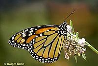 MO01-043z  Monarch Butterfly - adult on milkweed - Danaus plexippus