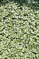 Lamium maculatum Beacon Silver groundcover plant for shade