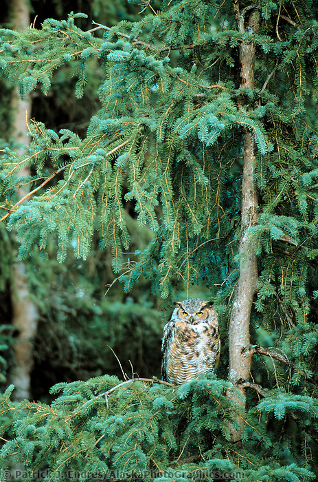 Great Horned owl perched in a spruce tree in Fairbanks, Alaska