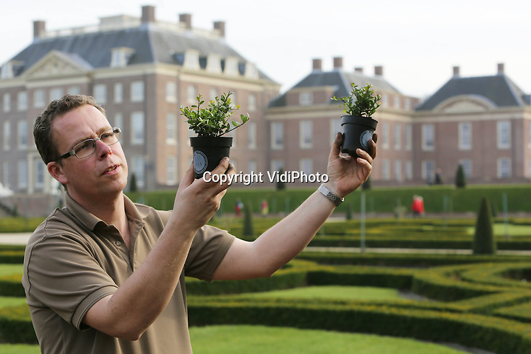 """Foto: VidiPhoto..APELDOORN - Robert Rozenboom, tuinman van Paleis Het Loo, bekijkt en verwerkt de eerste van in totaal 80.000 Ilex-planten in de tuinen van het paleis in Apeldoorn. De beroemde buxustuin werd enkele jaren geleden getroffen door een schimmel die de struikjes liet verdrogen en afsterven. De nieuwe Ilex-planten, de Japanse hulst, zijn resistent tegen schimmels en lijken sterk op buxus. Naar verwachting is deze tuinrenovatie van Paleis Het Loo eind mei voltooid. Kwekerscollectief Ilex Select is verantwoordelijk voor de levering van de Ilex-planten. Kweker en woordvoerder namens Ilex Select Ronald Stolwijk: """"Na jaren van uitgebreid onderzoek op locatie is Ilex crenata Dark Green als beste getest. Wij zijn erg trots dat deze Ilexsoort zo'n prominente rol krijgt in de tuinen van Paleis Het Loo.""""  Foto: Op de achtergrond de zieke buxus..."""
