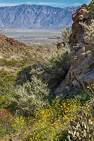 California native plant desert landscape in rocky Glorietta Canyon, Anza Borrego State Park during superbloom wildflower display 2017