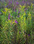 Nachusa Grasslands Natural Area, Illinois:<br /> Prairie detail of blazing star (liatris) and goldenrod (solidago) in a nativ tallgrass prairie, Nature Conservancy