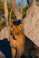 Lioness, Kwando Concession, Linyanti Marshes, Botswana.