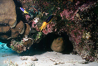 MARINE LIFE: REEFS<br /> Moray eel in cave<br /> Moray eels are naturally shy, resting in crevices during the day and hunting nocturnally.