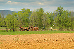 Amishman with mule team planting corn.