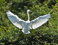 The light shining through the wings shows  the detailed wing structure of this beautiful white bird. (Photo by Matt Considine - Images of Asia Collection)