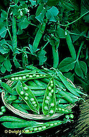 HS26-127f  Pea - shelling pea pods on vine, harvested pods showing peas inside - Green Arrow variety