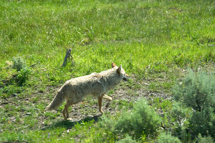 WY: Wyoming; Yellowstone National Park..Lamar Valley, coyote..Photo #: yellow1716.Photo copyright Lee Foster, 510/549-2202, lee@fostertravel.com, www.fostertravel.com