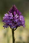 Pyramid Orchid, Anacamptis pyramidalis, near Carvoeiro, Algarve, Portugal