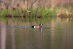Drake blue-winged teal swimming in a northern Wisconsin lake.