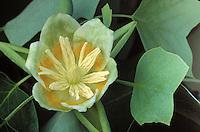 Tulip-poplar flower; Liriodendron tulipifera; PA, Philadelphia