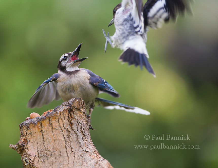 A juvenile Red-headed Woodpecker confronts a Blue Jay.