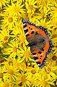 Small Tortoiseshell butterfly {Aglais urticae}  feeding on Common Ragwort {Senecio jacobaea}. Peak District National Park, Derbyshire, UK. August.