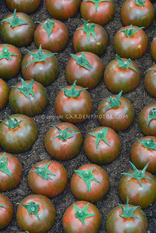 Striped tomatoes 'Black Zebra'