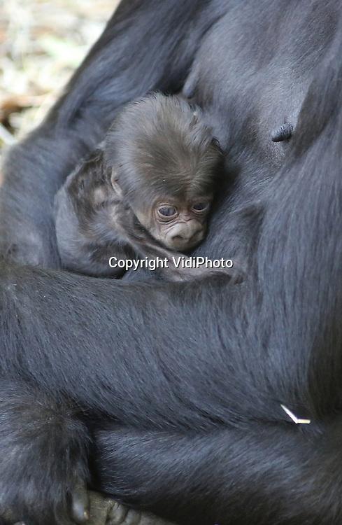 Foto: VidiPhoto<br /> <br /> ARNHEM - Met de geboorte van een vijfde jong in &eacute;&eacute;n jaar -een unicum in de geschiedenis van het dierenpark- evenaart Burgers' Zoo de grootste gorillagroep van Nederland, de Apenheul. Beide parken hebben nu vijftien gorilla's. Aan de geboorte van het laatste jong zit een bijzonder verhaal. De onervaren moeder N'Aika mocht niet zwanger worden omdat ze naar een ander park zou verhuizen. De ongewenste en onverwachte zwangerschap voorkomt de komende drie jaar wel haar vertrek. Officieel mogen er in dierentuinen niet meer dan drie vrouwtjes zwanger raken. Omdat Burgers' Zoo ook al een gorillatweeling heeft, komt het totaal aantal jongen dit jaar op vijf. Allemaal kinderen van zilverrug Bauwi. De jongste telg blijkt overigens een vrouwtje te zijn. De geboorte is eerder deze week geboren, maar pas donderdag bekend gemaakt omdat de eerste dagen vaak kritiek zijn voor gorillababy's.