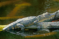 Alligator, Alligator mississippiensis, rests sunning on a log in the river of a spring in Florida