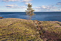 A small fir grows near a rock covered with crustose and foliose lichens  in the St. Lawrence seashore of Essipit in the Quebec region of Cote-Nord, Thursday October 11, 2012. Lichens are composite organisms consisting of a symbiotic relationship between a fungus (the mycobiont) and a photosynthetic partner.