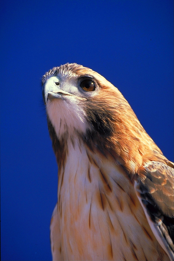 Closeup shot of a captive red-tailed hawk owned by a falconer.