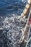 Herring sac roe fishery, Sitka, Alaska.