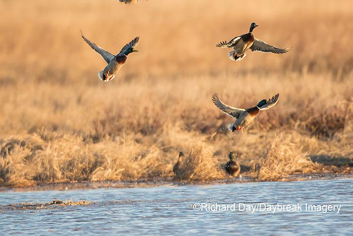 00729-02309 Mallards (Anas platyrhynchos) flying from wetland, Marion Co., IL