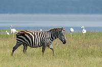 A Grant's Zebra, Equus quagga boehmi, walks past a group of Greater Flamingoes, Phoenicopterus ruber, on the shore of Lake Nakuru in Lake Nakuru National Park, Kenya