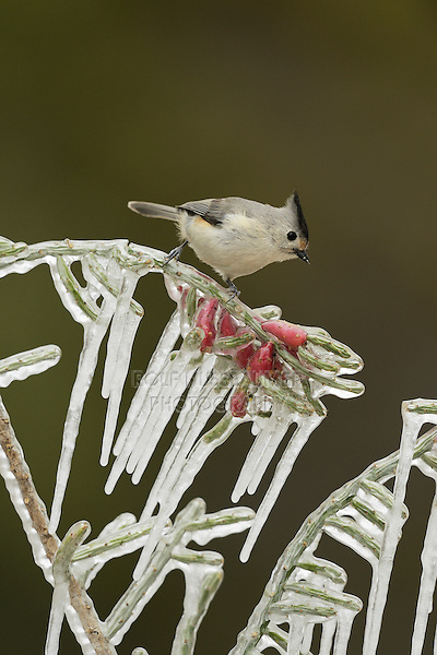 Black-crested Titmouse (Baeolophus bicolor), adult perched on icy branch of Christmas cholla (Cylindropuntia leptocaulis), Hill Country, Texas, USA