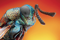 BNPS.co.uk (01202) 558833<br /> Picture: AnimalEarth<br /> <br /> Parasitoid wasp<br /> <br /> New book uncovers the animal world in all its profusion and glory featuring an astounding cornucopia of astonishing life.<br /> <br /> An extraordinary new book reveals the weird and wonderful diversity of life on earth with a selection of stunning pictures of some of the lesser known creatures that inhabit the planet.<br /> <br /> Author Ross Kemp has travelled the globe photographing and researching some of the worlds wackiest animals, many to small to be seen by the human eye, for his new book Animal Earth.<br /> <br /> The book shows the bizarre lives of some of the most unknown and overlooked animals on the planet. Incredible photographs by some of the World's best macro photographers show the marine world in unprecedented detail. Some of the photographs reveal weird and wonderful organisms that have transparent skin, bold colours and some even appear to glow in the dark. <br /> <br /> The book, Animal Earth, costs &pound;29.95 from thamesandhudson.