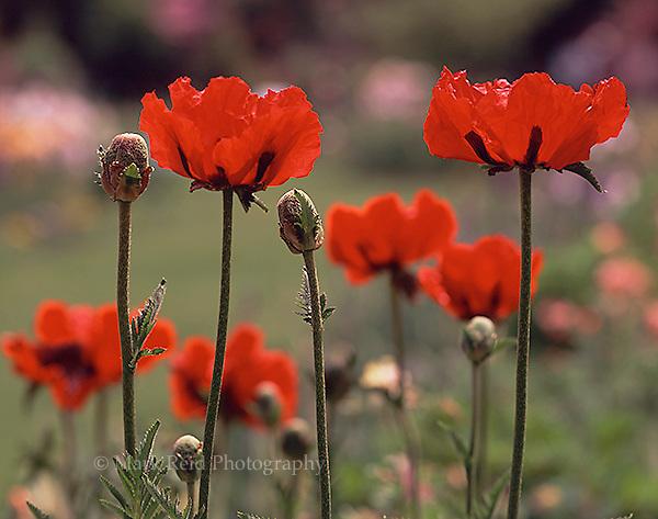 Red Poppies at the Schreiner Iris Gardens in Brooks Oregon