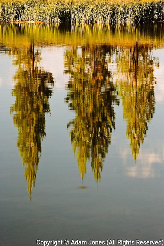 Lodgepole pines, Pinus contorta, mirrorred on lake, Yellowstone National Park, Wyoming