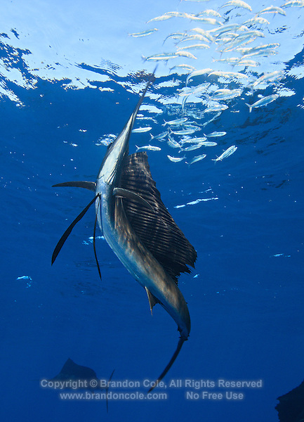 qh1253-D. Atlantic Sailfish (Istiophorus albicans) feeding on sardines. Note some consider this to be the same species as the Indo-Pacific Sailfish (I. platypterus). Mexico, Gulf of Mexico..Photo Copyright © Brandon Cole. All rights reserved worldwide.  www.brandoncole.com..This photo is NOT free. It is NOT in the public domain. This photo is a Copyrighted Work, registered with the US Copyright Office. .Rights to reproduction of photograph granted only upon payment in full of agreed upon licensing fee. Any use of this photo prior to such payment is an infringement of copyright and punishable by fines up to  $150,000 USD...Brandon Cole.MARINE PHOTOGRAPHY.http://www.brandoncole.com.email: brandoncole@msn.com.4917 N. Boeing Rd..Spokane Valley, WA  99206  USA.tel: 509-535-3489