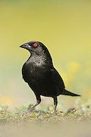 Bronzed Cowbird (Molothrus aeneus), Laredo, Webb County, South Texas, USA