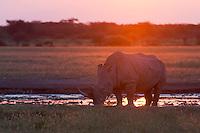 Big bull rhinoceros at a waterhole at sunset