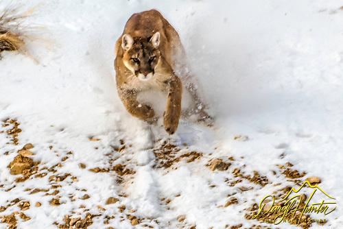 Jackson Hole Mountains Lion