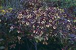 3010-DD Gray Dogwood, Cornus racemosa, plant fruiting heavily in Minnesota