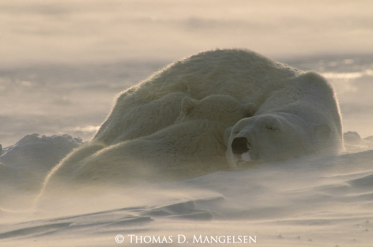 A polar bear cub sleeps cuddled up against its mother at Hudson Bay in Manitoba, Canada.
