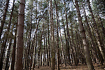 Conifer trees in Rendlesham Forest, Suffolk, England