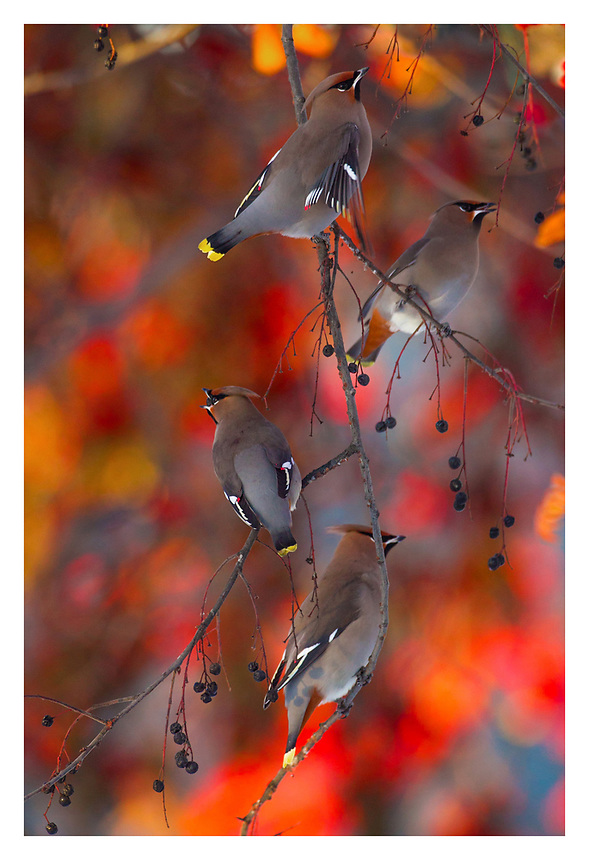 Waxwings eating in evening light