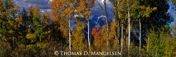 The summit of Mount Moran is seen through aspens adorned in fall color in Grand Teton National Park, Wyoming.
