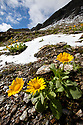 Large-flowered Leopard's-bane (Doronicum grandiflorum) flowering on mountainside. French Alps, France.