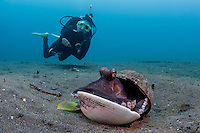 Coconut octopus (Amphioctopus marginatus) with diver in background