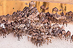 Chad (Tchad), North Africa, Sahara, Ennedi, large herd of camels gathering at water