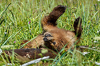 Grizzly Bear cub rolls and plays with log in grass at Silver Salmon Creek area in Lake Clark National Park.